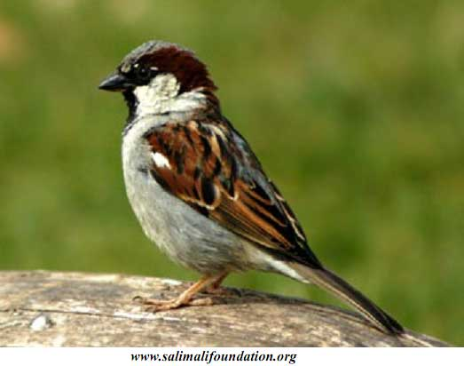 Will the sparrow ever return - eassarma
